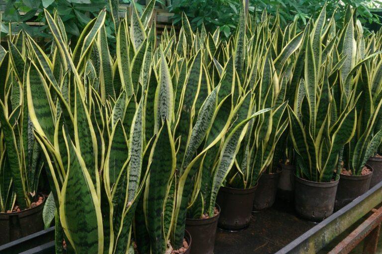 La plante serpent : une espèce végétale détox pour sublimer votre intérieur