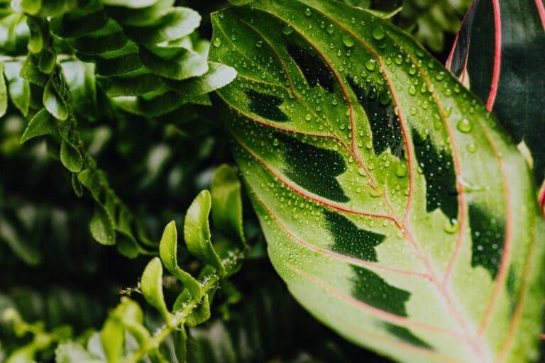 Le Calathea Warscewiczii, la plante qu'il vous faut pour égayer votre intérieur